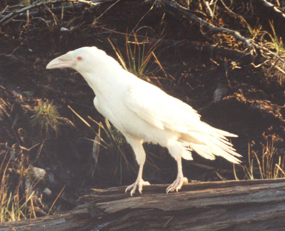 ворон  белая ворона  смешные картинки и другие приколы